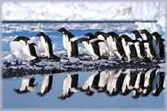 Mobile - PC Group of  Adelie penguins into water jigsaw puzzle