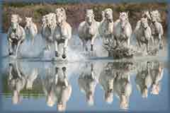 Mobile - PC Camargue Horses running jigsaw puzzle