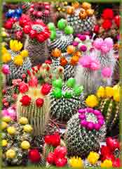 Mobile - PC Group of  Catus Flowers jigsaw puzzle