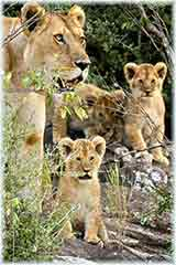 Kenya lion family puzzle