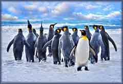 Mobile - PC Group of  King Penguins Falkland Islands jigsaw puzzle