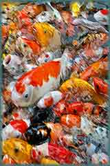 Mobile - PC Koi carps jigsaw puzzle