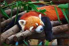 Mobile - PC Red panda sleeping jigsaw puzzle