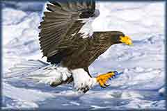 Mobile - PC Group of  Sea Eagle japan jigsaw puzzle