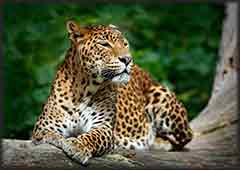 Mobile - PC Sri Lankan leopard jigsaw puzzle