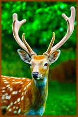 Mobile - PC Summer Whitetail Deer jigsaw puzzle