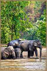 Mobile - PC Thai elephants jigsaw puzzle