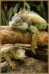 Two green iguanas jigsaw puzzle