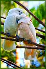 cockatoo parrot love jigsaw puzzle