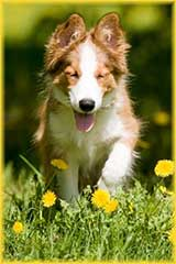 collie puppy jigsaw puzzle
