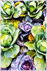 colorful cabbages jigsaw puzzle