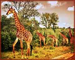 Mobile - PC giraffe family grazing jigsaw puzzle