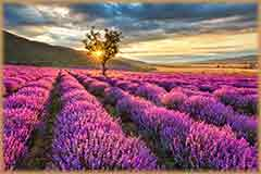 Mobile - PC lavender field at sunrise jigsaw puzzle