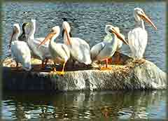 Mobile - PC Group of  pelicans on rock jigsaw puzzle