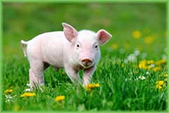 Mobile - PC pig on green grass jigsaw puzzle