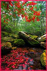 red maple jigsaw puzzle