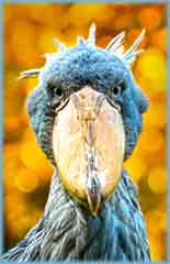 Mobile - PC Group of  shoebill portrait jigsaw puzzle