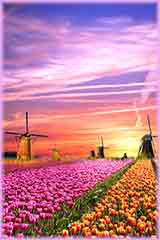 tulips windmills