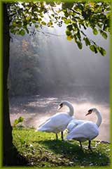 two swans jigsaw puzzle