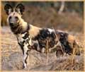 African Wild Dog jigaw puzzle
