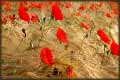 Poppies jigsaw puzzles