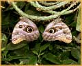 Two Butterflies jigsaw puzzles