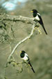 yellow billed magpie jigsaw puzzle