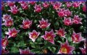 Tulips  jigsaw puzzle