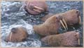 walruses jigsaw puzzles